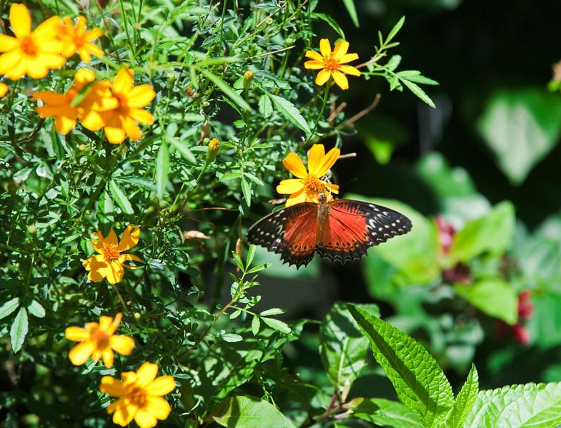 Butterfly_Tiger Longwing_DDD5167