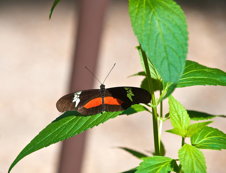 Butterfly_Mexican Heliconian_DDD5046