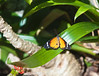 Butterfly_Plain Tiger_DDD5056