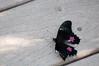 Butterfly_Ruby-Spotted Swallowtail_DSC2588