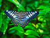 Butterfly_Clipper_SEAsia_HDZoo_DON1736