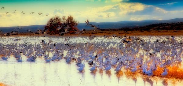 Geese Awaiting