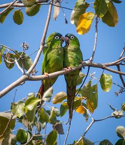Blue-fronted Parakeet