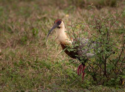 Buff-necked Ibis