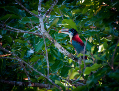 Curl-crested Toucanet