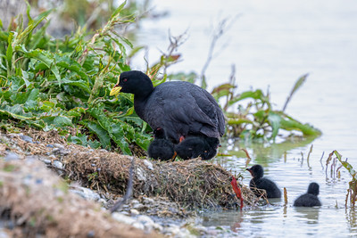 Red-gaitered Coot