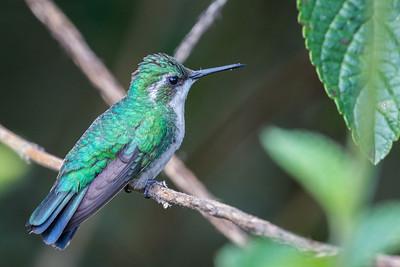 Garden Emerald (f)