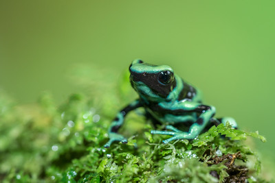 Green and Black Poison-dart Frog