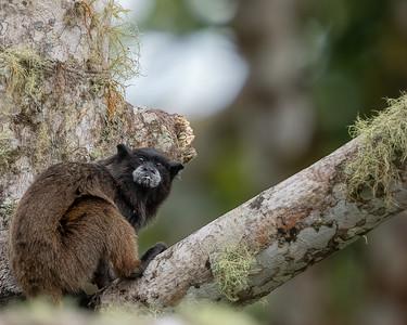 Black-mantled Tamarin