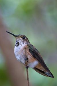 Rufous Hummingbird, Butterfly World, FL, 2005