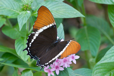 Rusty-tipped Page, Butterfly World, FL, 2005