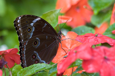 Morpho, Butterfly World, FL, 2005