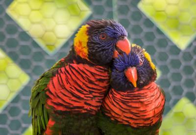 Rainbow Lorikeets, Parrot Jungle, FL, 2005