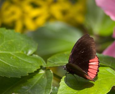 Red Rim, Butterfly World, FL, 2005