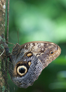 Owl Butterfly, Butterfly World, FL, 2009