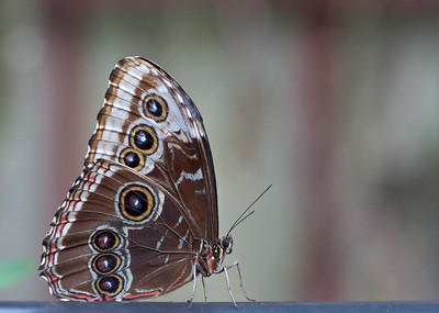 Blue Morpho, Butterfly World, FL, 2009