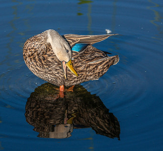 Mottled Duck