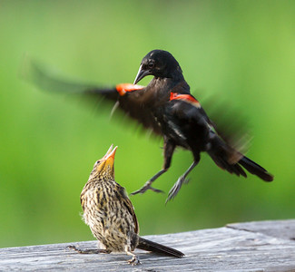 Red-winged Blackbird Display Flight