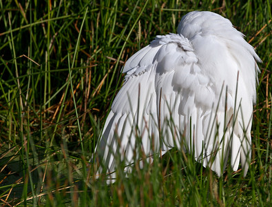 Great Egret Shroud