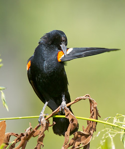 Red-winged Blackbird Preening