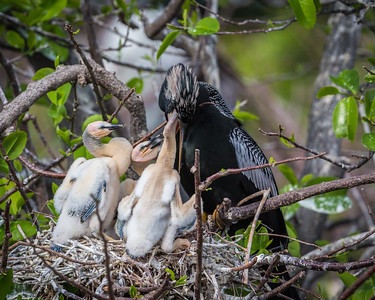 Anhinga Feeding Young