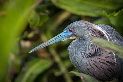 Tricolored Heron, Wakodahatchee, Boynton Beach, FL, 2016