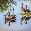 Black-bellied Whistling Duck, Wakodahatchee, Boynton Beach, FL, 2016