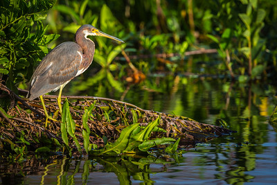 Tricolored Heron, Wakodahatchee, Boynton Beach, FL, 2016