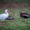 White Ibis, Wakodahatchee, Boynton Beach, FL, 2016