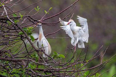 Cattle Egret, Wakodahatchee, Boynton Beach, FL, 2016