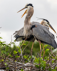 Great Blue Heron, Wakodahatchee, Boynton Beach, FL, 2016