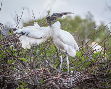 Wood Stork, Wakodahatchee, Boynton Beach, FL, 2016