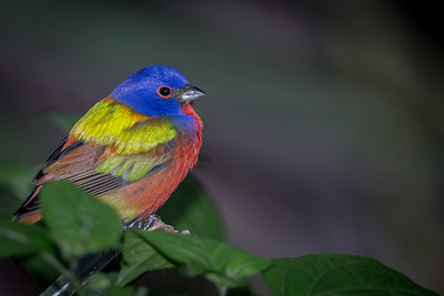 Painted Bunting (m)