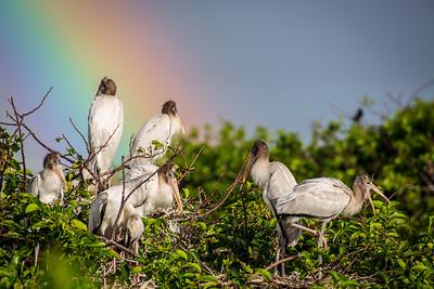 Wood Storks and Rainbow