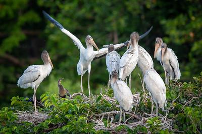Immature Wood Stork