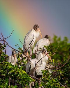 Woodstorks and Rainbow