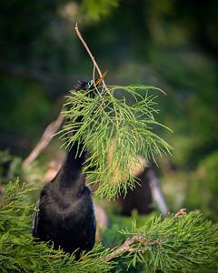 Anhinga with Nesting Material