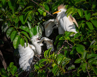 Cattle Egret with 2 Chicks