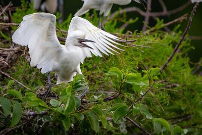 Immature Cattle Egret