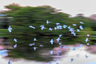 White Ibis Blur
