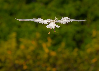 Cattle Egret Landing