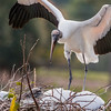 Wood Stork arriving at the Nest