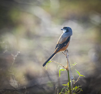 Long-tailed Shrike