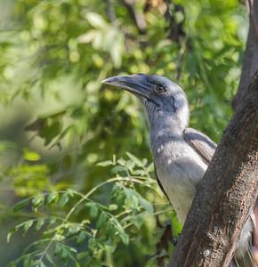 Indian Gray Hornbill