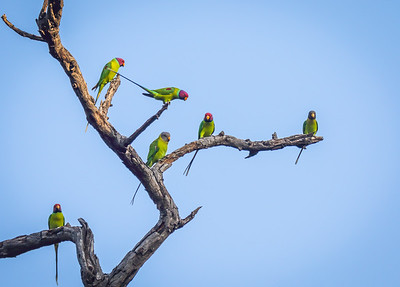 Plum-headed Parakeets