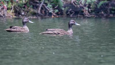 Meller's Duck