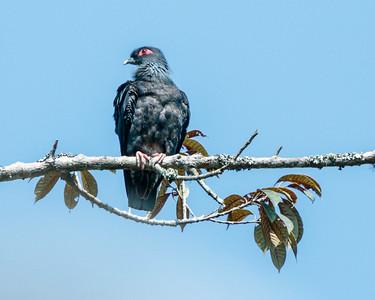 Madagascar Blue Pigeon