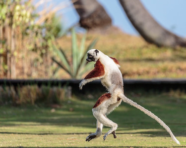 Coquerel's Sifaka, Anjajavy Private Reserve. Madagascar
