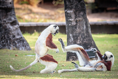 Coquerel's Sifaka, Anjajavy Private Reserve. Madagascar