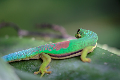 Green Day Gecko